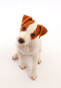 Jack Russell Terrier puppy, Bertie, age 11 weeks, sitting and looking up.  -  Mark Taylor