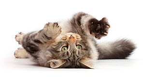Silver tabby cat, Freya, age 5 months, rolling on her back.  -  Mark Taylor