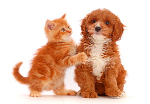 Ginger kitten and Cavapoo puppy. NOT AVAILABLE FOR BOOK USE - Mark Taylor