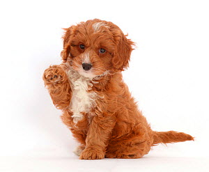 Cute Cavapoo puppy sitting with raised paw. - Mark Taylor