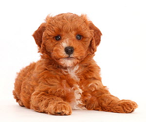 Cavapoo puppy lying with head up. - Mark Taylor