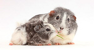 Guinea pig female and baby sharing a blade of grass. - Mark Taylor