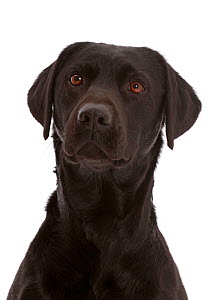 Black Labrador Retriever portrait. - Mark Taylor