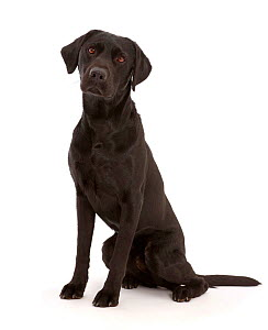 Black Labrador Retriever, sitting. - Mark Taylor