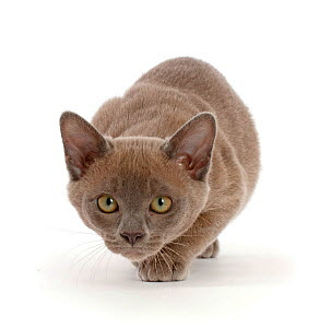 Blue Burmese kitten, prowling.  -  Mark Taylor