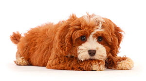 Cavapoo puppy with chin on paw. - Mark Taylor