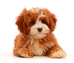 Cavapoo puppy lying head up. - Mark Taylor