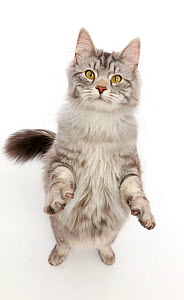 Silver tabby cat, Blaze, age 10 months, standing up.  -  Mark Taylor
