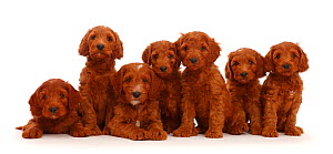 Seven Australian Labradoodle puppies in a row. - Mark Taylor