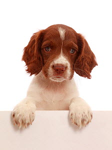 Working English Springer Spaniel puppy, age 7 weeks, paws over.  -  Mark Taylor
