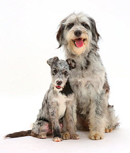 Blue merle Cadoodle and mutt pup. - Mark Taylor