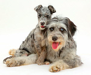 Blue merle Cadoodle and mutt pup resting. - Mark Taylor