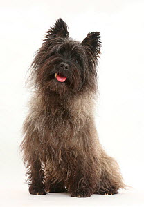 Black Cairn Terrier, sitting with tongue out.  -  Mark Taylor