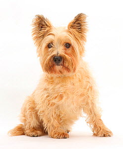 Cairn Terrier, sitting.  -  Mark Taylor
