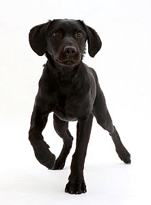 Black Labrador dog, age 6 months, walking. - Mark Taylor