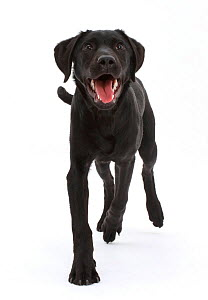 Black Labrador dog, age 6 months, trotting. - Mark Taylor