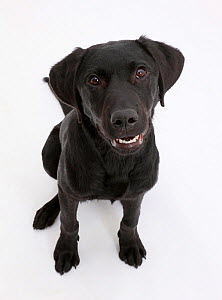 Black Labrador dog, age 6 months, sitting and looking up. - Mark Taylor