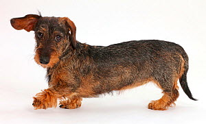 Wire haired Dachshund walking across. - Mark Taylor