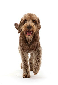 RF - Labradoodle running. (This image may be licensed either as rights managed or royalty free.) - Mark Taylor