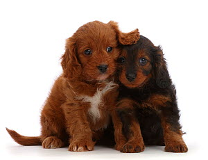 RF - Cavapoo puppies, 7 weeks sitting side by side. (This image may be licensed either as rights managed or royalty free.) - Mark Taylor