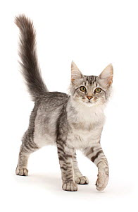 RF - Mackerel Silver Tabby cat, walking with tail up. (This image may be licensed either as rights managed or royalty free.) - Mark Taylor