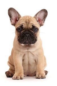 RF - French bulldog puppy, 7 weeks, sitting. (This image may be licensed either as rights managed or royalty free.)  -  Mark Taylor