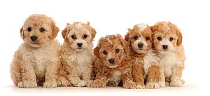 RF - Five Cavapoochon puppies, age 6 weeks, sitting in a line (This image may be licensed either as rights managed or royalty free.) - Mark Taylor