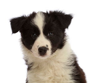 RF - Black-and-white Border Collie puppy, age 7 weeks. (This image may be licensed either as rights managed or royalty free.) - Mark Taylor