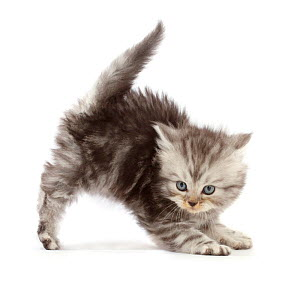 RF - Silver tabby Persian-cross kitten arching back in playful confrontation. (This image may be licensed either as rights managed or royalty free.)  -  Mark Taylor