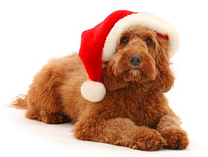 RF - Australian Labradoodle wearing a Father Christmas hat. (This image may be licensed either as rights managed or royalty free.) - Mark Taylor