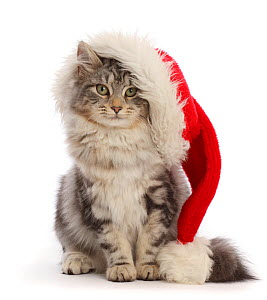 RF - Silver tabby cat, Freya, age 5 months, wearing a Father Christmas hat. (This image may be licensed either as rights managed or royalty free.) - Mark Taylor