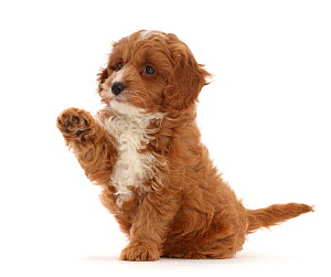 RF - Cavapoo puppy sitting with raised paw. (This image may be licensed either as rights managed or royalty free.) - Mark Taylor
