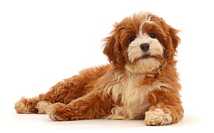 RF - Cavapoo puppy lying head up. (This image may be licensed either as rights managed or royalty free.) - Mark Taylor