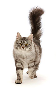 RF - Silver tabby cat, Blaze, age 10 months, walking with tail erect. (This image may be licensed either as rights managed or royalty free.) - Mark Taylor