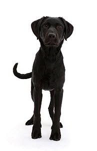 RF - Black Labrador dog, age 6 months, standing. (This image may be licensed either as rights managed or royalty free.) - Mark Taylor
