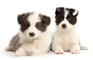 RF - Two cute Border Collie puppies sitting together. (This image may be licensed either as rights managed or royalty free.) - Mark Taylor