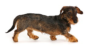 RF - Wire haired Dachshund walking, profile (This image may be licensed either as rights managed or royalty free.)  -  Mark Taylor