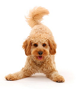 RF - Cavapoo dog, Monty, 10 months, in play-bow stance. (This image may be licensed either as rights managed or royalty free.)  -  Mark Taylor