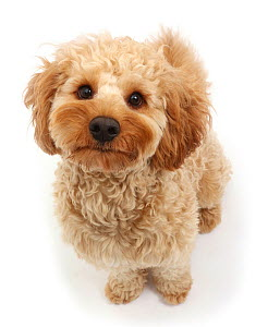 RF - Cavapoo dog, Monty, 10 months, sitting and looking up. (This image may be licensed either as rights managed or royalty free.)  -  Mark Taylor