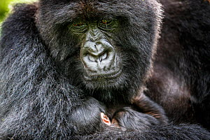 Mountain gorilla (Gorilla beringei beringei) female with baby, portrait. Volcanoes National Park, Rwanda. - Christophe Courteau