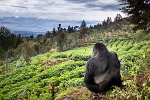 Mountain gorilla (Gorilla beringei beringei) silverback sitting on boundary wall between Volcanoes National Park and a Potato crop, looking into valley. Area to be restored to forest. Rwanda.  -  Christophe Courteau