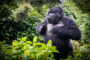 Mountain gorilla (Gorilla beringei beringei) blackback, juvenile male demonstrating power. Volcanoes National Park, Rwanda. - Christophe Courteau