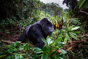 Mountain gorilla (Gorilla beringei beringei), dominant silverback  in forest clearing. Volcanoes National Park, Rwanda.  -  Christophe Courteau