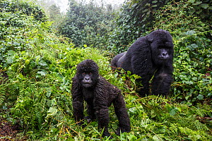 Mountain gorilla (Gorilla beringei beringei), silverback and juvenile son. Volcanoes National Park. Rwanda.  -  Christophe Courteau