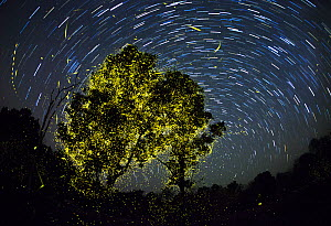 Composite image of Fireflies synchronize display just after first shower of monsoon, on moonless night. India.  -  Yashpal Rathore