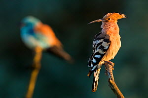 Hoopoe (Upupa epops) with European roller (Coracias garrulus) in the background. Pusztaszer, Hungary. May. - Bence Mate