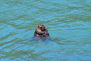 Northern sea otter (Enhydra lutris kenyoni), two holding on to each other in sea. Southeast Alaska, USA. June. - Doc White