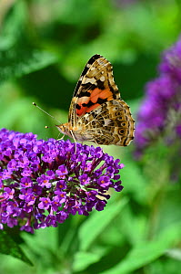 Portrait of a Painted lady butterfly (Vanessa cardui) wings closed, on buddleia, Dorset, UK September 2016 - Colin Varndell