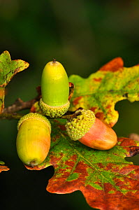Ripening Oak (Quercus robur) acorns. Dorset, UK October 2010  -  Colin Varndell