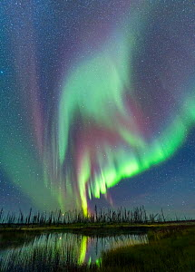 Aurora Borealis above taiga wetlands. Black spruce (Picea mariana) and Larch (Larix) on horizon. Northwest Territories, Canada. September 2018. - Jack Dykinga